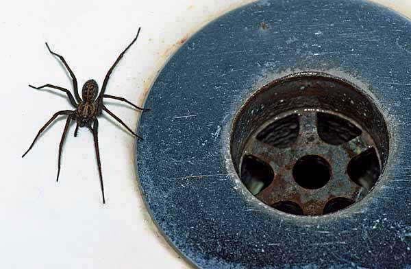 spider plughole